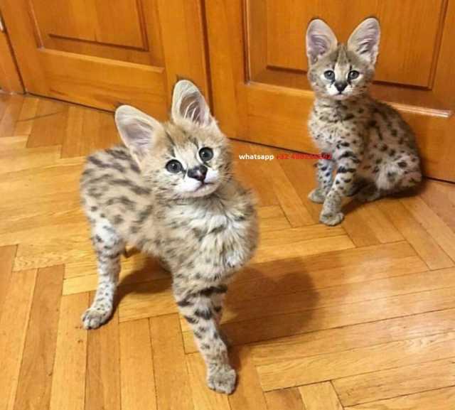 Продам: 1 самец и 1 самка саваннских котят F1 ну