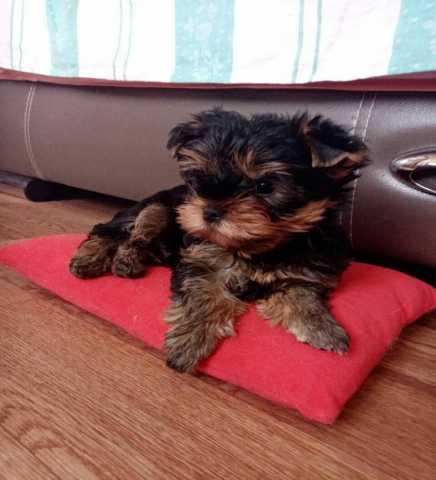 Продам щенок йоркширского терьера