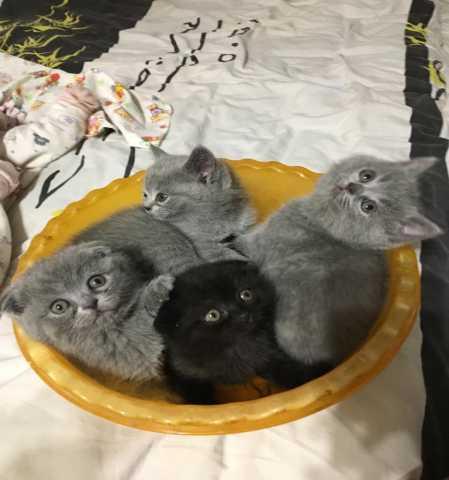 Продам: Котята шотландской плроды