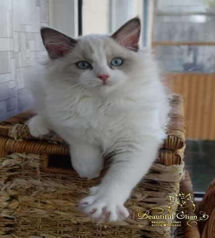 Продам: Котята породы Регдолл