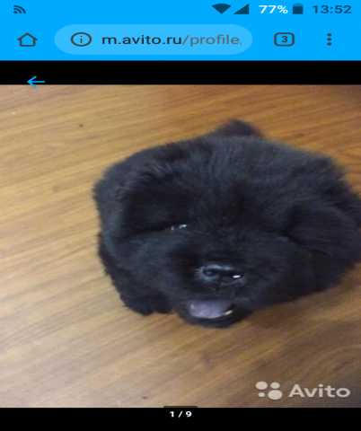 Продам: Продам щенка Чау-Чау девочку!)