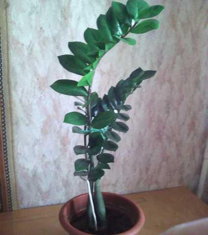 Отдам даром: Замиокулькас (долларовое дерево)
