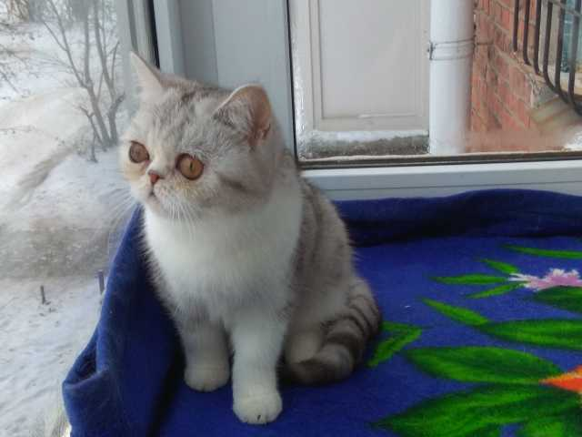 Продам Кошечка экзотическая короткошерстная