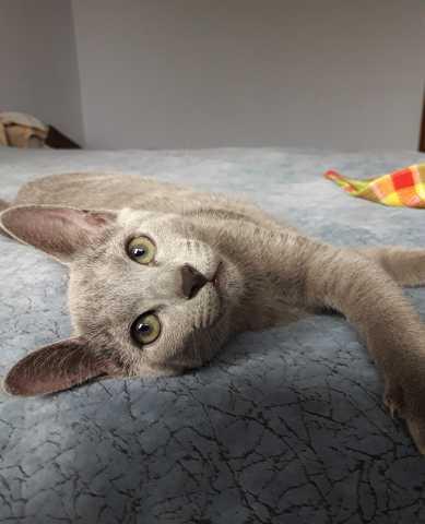 Продам: Котенок Русской голубой породы
