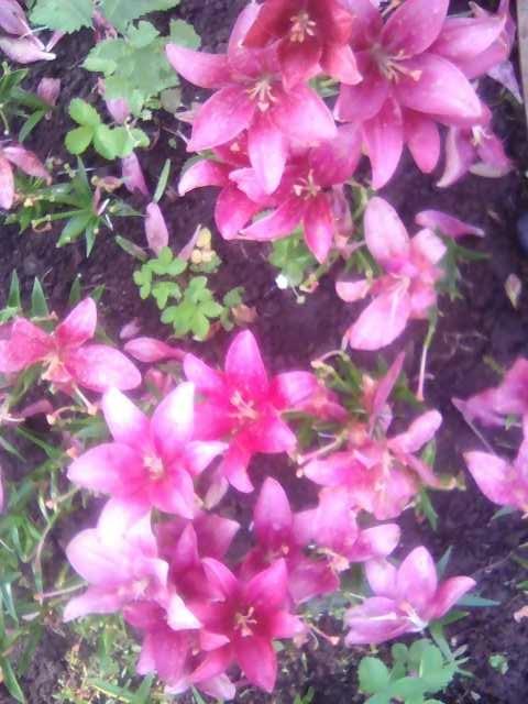 Отдам даром: Цветы многолетние с грядки