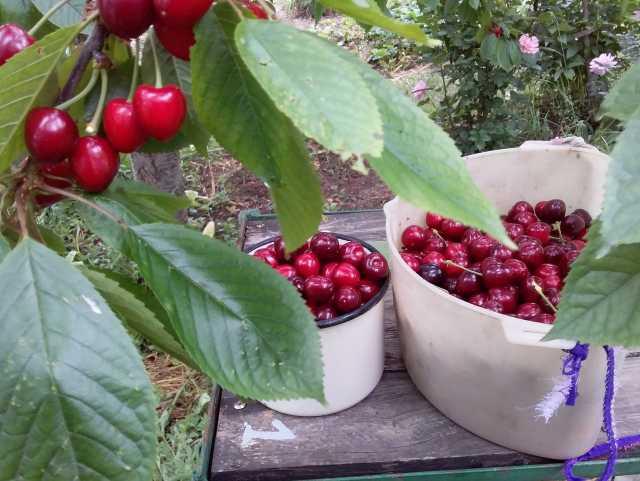 Продам Черешня дачная, сорт «Дайбера», красная