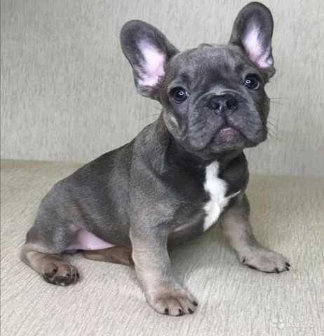 Куплю: французского бульдожика щенка!