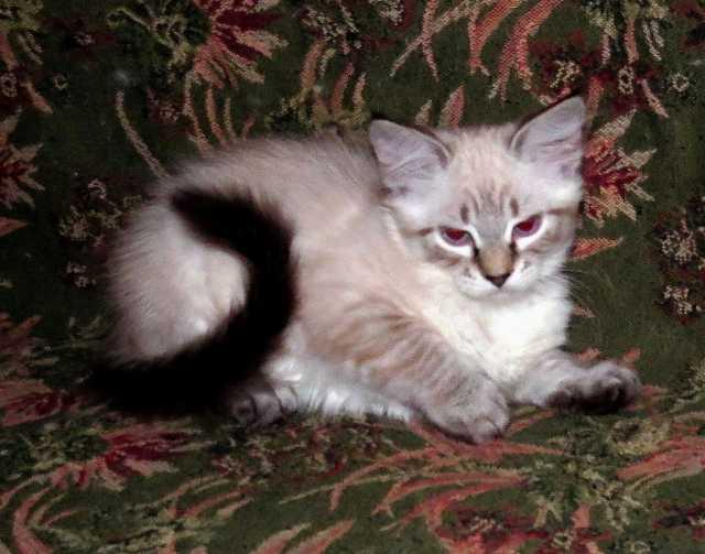 Продам: Невские Маскарадные котята
