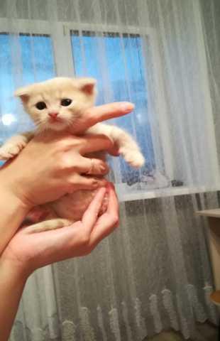 Продам: Котята шотландские вислоухие