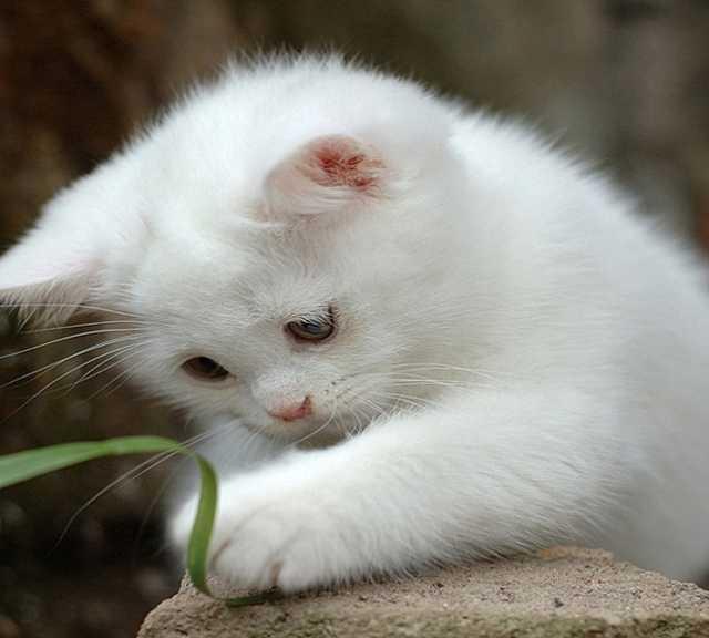 Отдам даром: два беленьких котенка