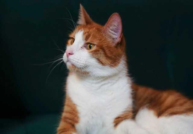 Отдам даром: Шикарный кот