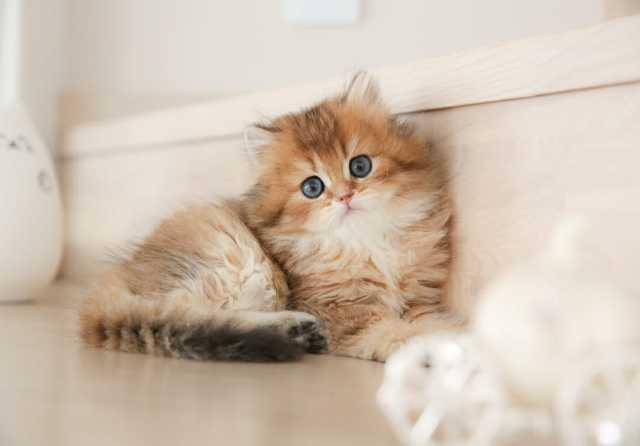 Продам Элитные британские котята