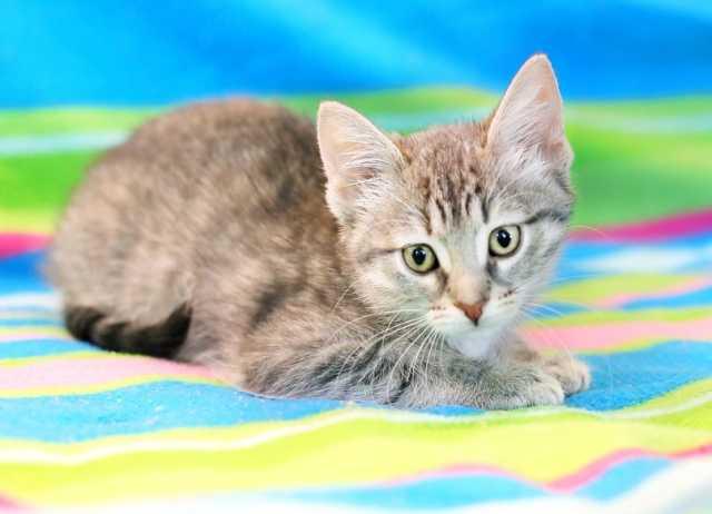 Отдам даром Маленькая котёнка Услада ищет дом