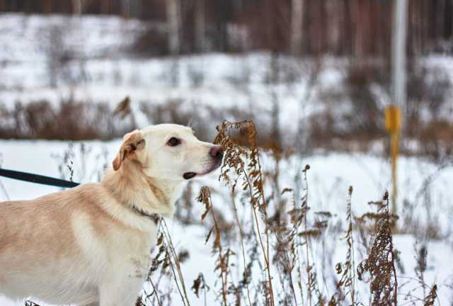Отдам даром: Молодую собаку метис лабрадора