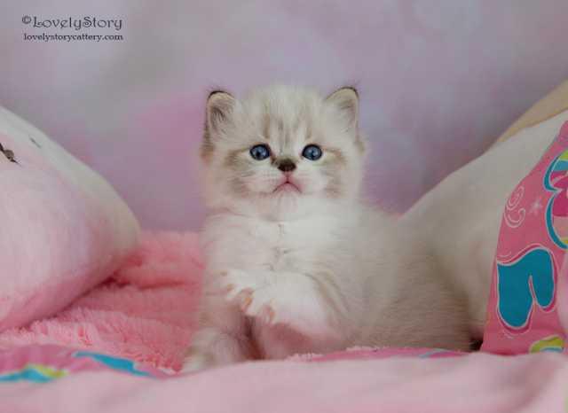 Продам: Котята породы рэгдолл