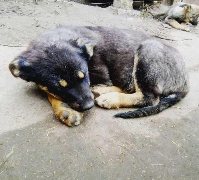Отдам даром: Собака для охраны