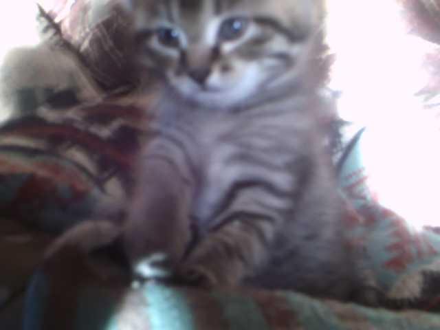 Продам: котенок
