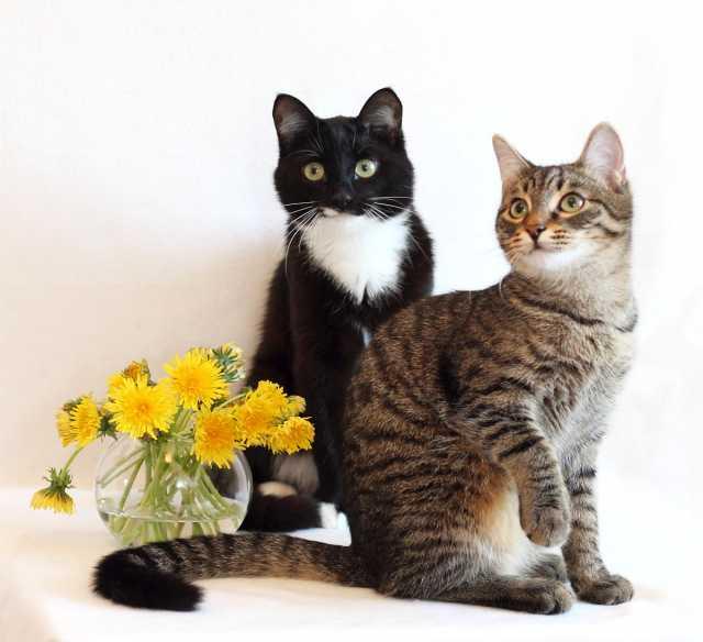 Отдам даром: 2 кота: полосатый Николай и ч/б Кокос ищ