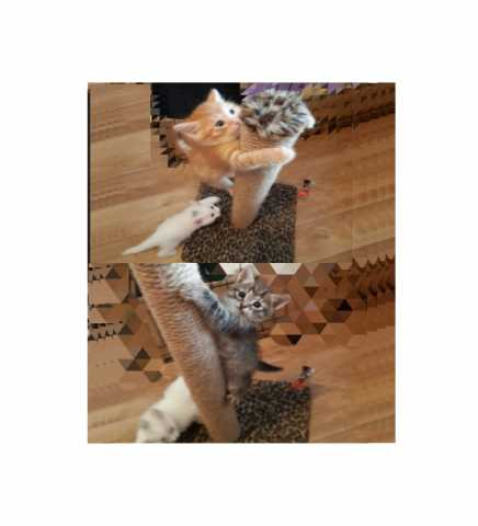 Отдам даром: Домашние котята , 1.5 месяца