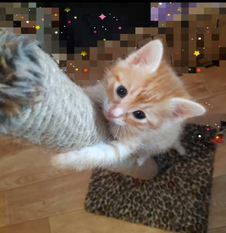 Отдам даром: Воспитанный домашний Рыжий котенок