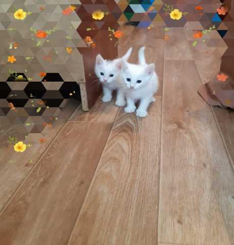 Отдам даром: Воспитанный домашний Белый котенок