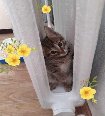 Отдам даром: Воспитанный домашний Тигровый котенок