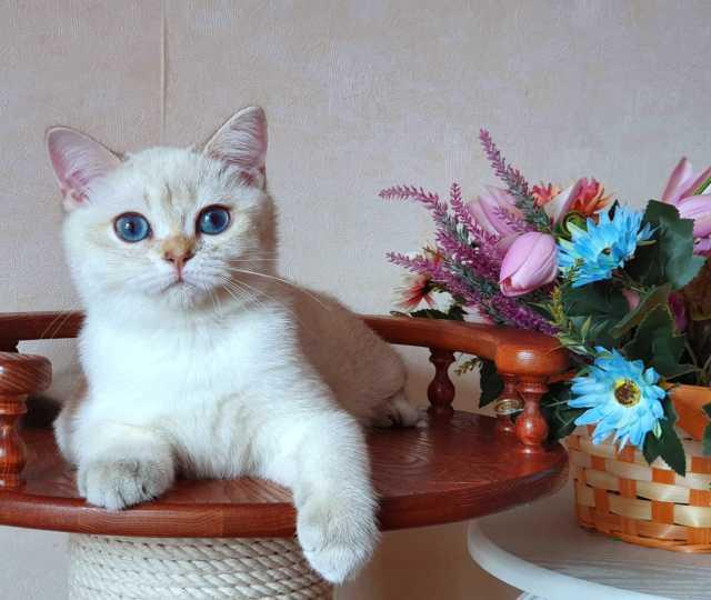 Продам Британский котёнок Holiday