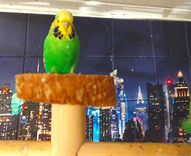 Продам: Волнистые попугаи Чехи -Самки