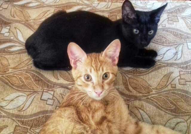 Отдам даром Котята. Рыжий котик, черная кошечка