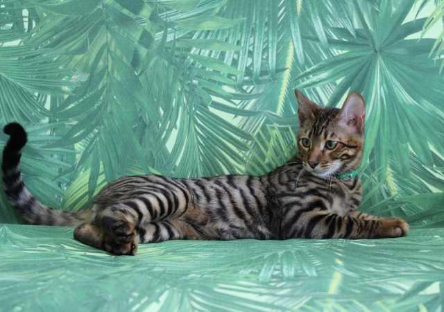 Продам: Продажа котенка породы Той