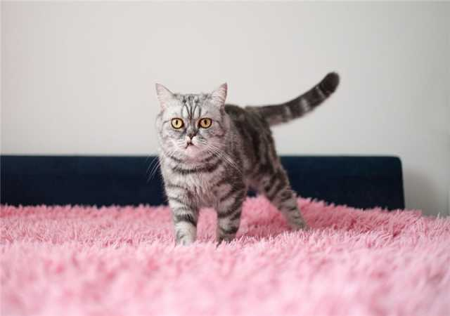 Отдам даром: Кошка породы Экзот в добрые руки