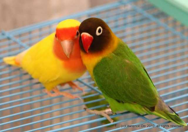 Отдам даром: попугаи неразлучники