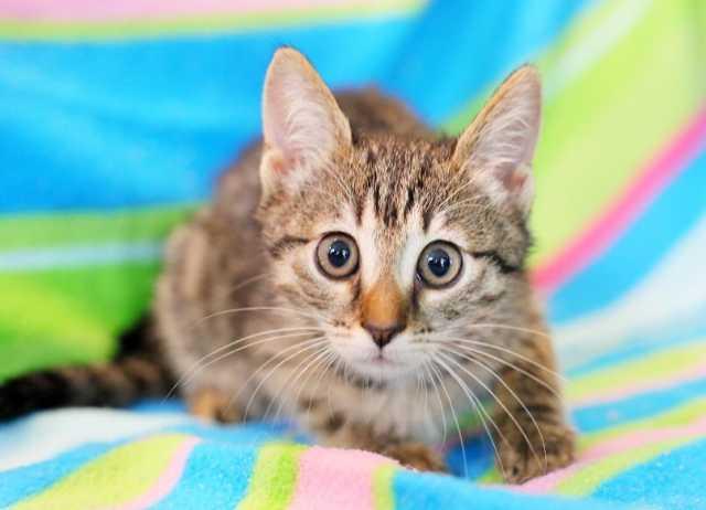 Отдам даром Общительная веселая котенок Консуэлла