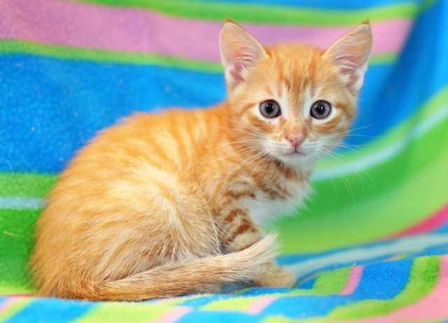 Отдам даром Рыжий солнечный котенок Леденец в дар