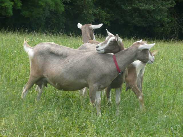 Продам Племенные козы Тоггенбурской породы (Ско