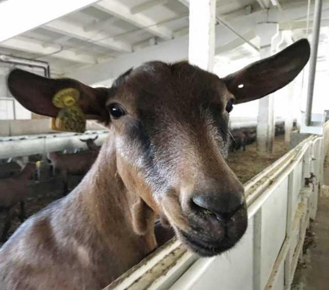 Продам Племенные козы Альпийской породы (Скот и