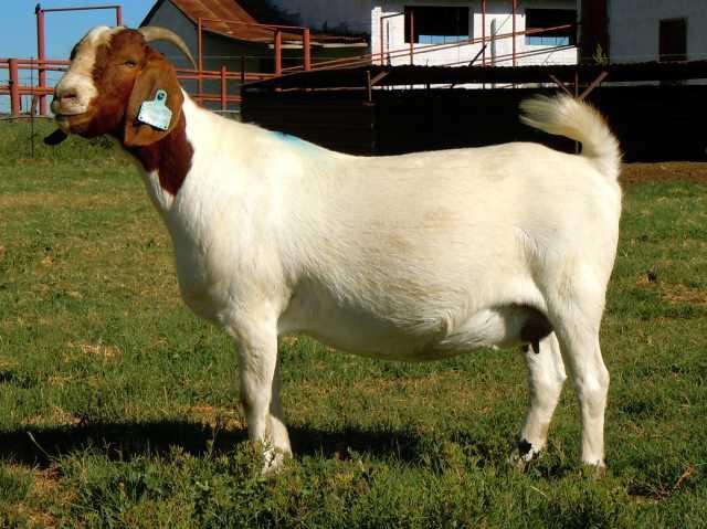 Продам Племенные козы Бурской породы (Скот из Е
