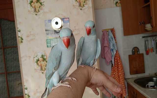 Продам: Ожереловый попугай (голубой)