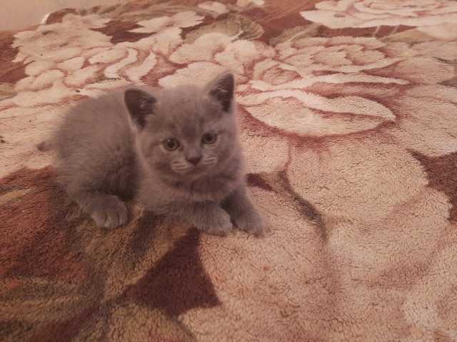 Продам: Котят британской породы