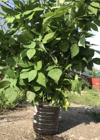 Продам: Саженцы малины садовой