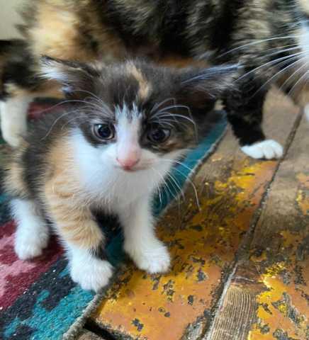Отдам даром: Отдам котёнка - девочку в добрые руки