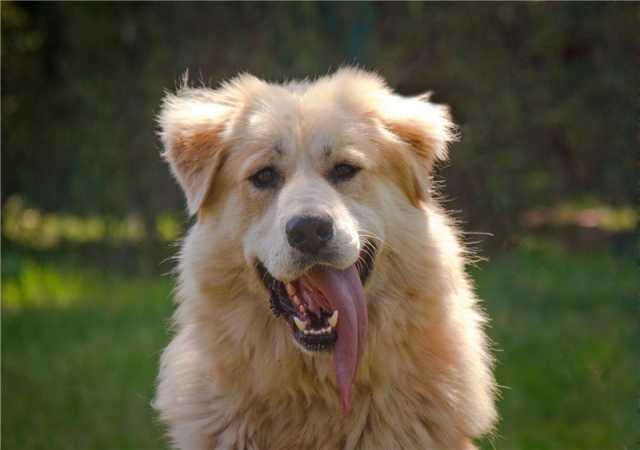 Отдам даром: Шикарный пёс Нортон в добрые руки.