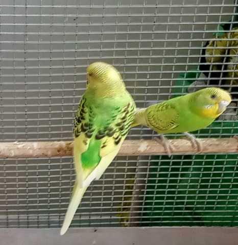 Продам: Попугаи волнистые