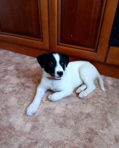 Отдам даром: потерянного щенока в Засечном