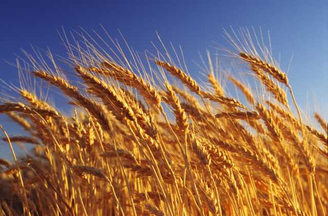 Продам Семена пшеница озимая Алексеич ЭС урожай