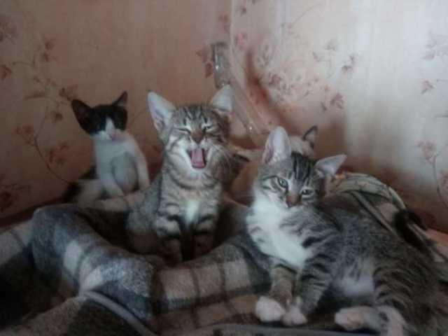Отдам даром: Котята с характерами. г.Орел