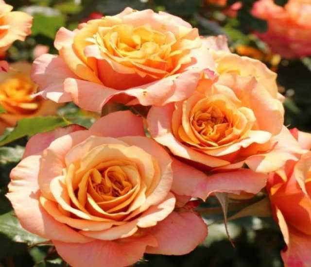 Продам: Роза кустовая Ла Вилла Котта