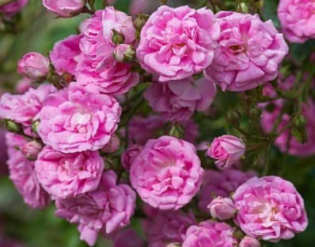 Продам: Роза плетистая Супер Дороти