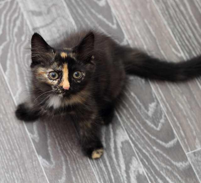 Отдам даром: Котенок Весняна, маленькое пушистое чудо