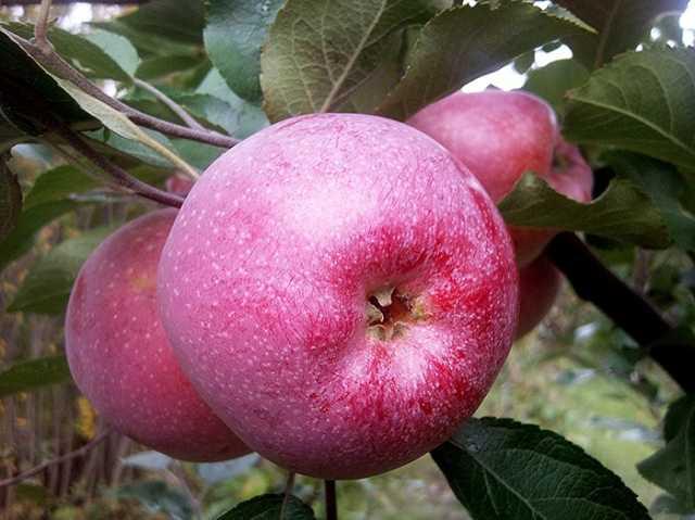 Продам: Яблоня Флорина